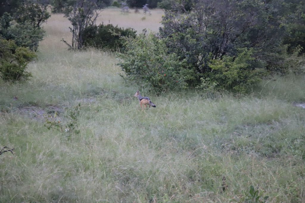 Black-backed jackal : Canis mesomelas